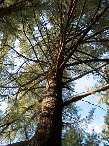 Pine-Looking-Up